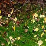 petites feuilles dorées