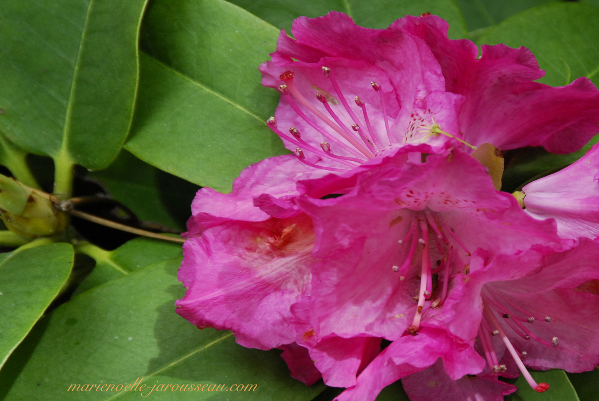 rhododendron-rouge