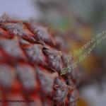 ananas flouté