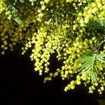 pluie de mimosa