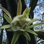 fleur de cactus naissance