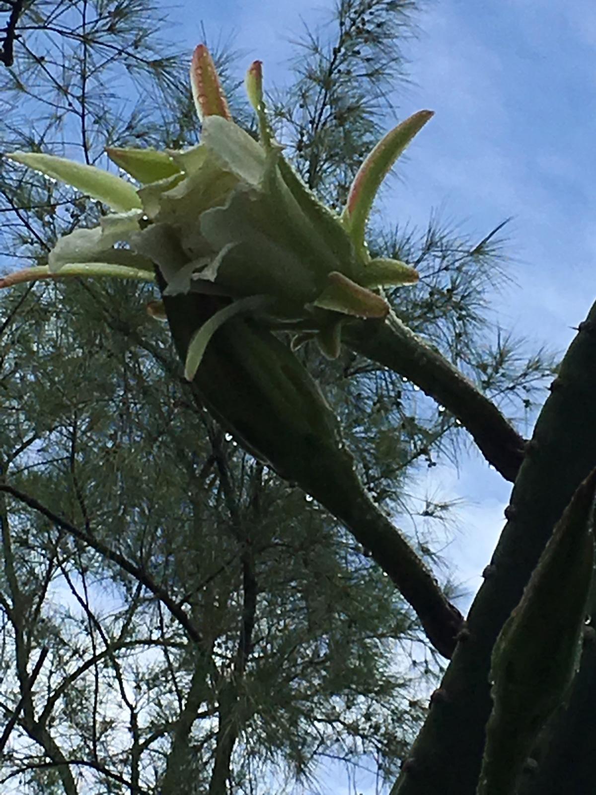 fleur-de-cactus-fleur3-web-IMG_1091