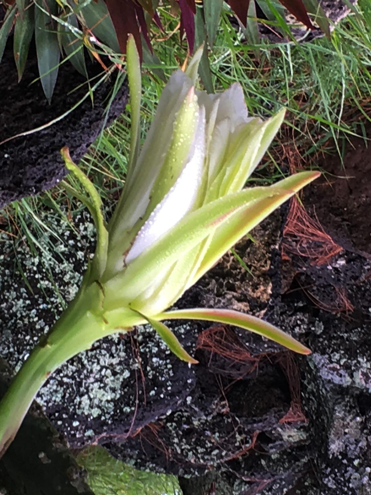 fleur de cactus épanouissement